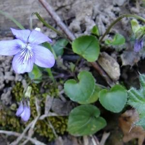 Photographie n°296293 du taxon Viola riviniana Rchb.
