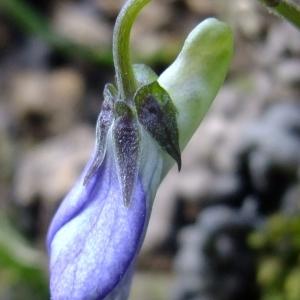 Photographie n°296297 du taxon Viola riviniana Rchb.