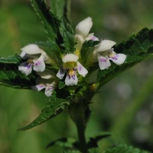 Photographie n°296385 du taxon Galeopsis tetrahit L.