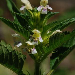 Photographie n°296386 du taxon Galeopsis tetrahit L.