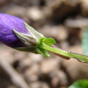 Photographie n°296768 du taxon Viola riviniana Rchb.