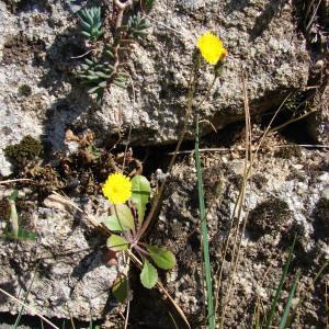 Photographie n°296789 du taxon Crepis sancta (L.) Bornm. [1913]