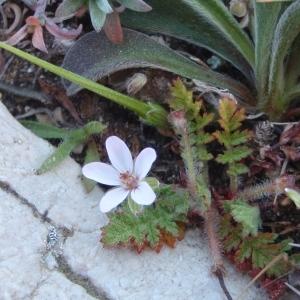 Photographie n°297702 du taxon Erodium cicutarium subsp. cicutarium
