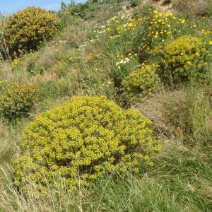 Photographie n°297746 du taxon Euphorbia dendroides L. [1753]