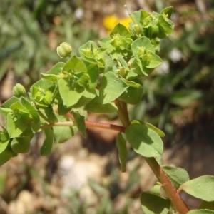 Photographie n°297781 du taxon Euphorbia peplus L. [1753]