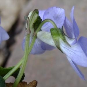Photographie n°297820 du taxon Viola riviniana Rchb.