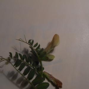 Photographie n°297892 du taxon Vicia hirsuta (L.) Gray [1821]