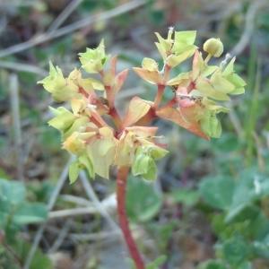 Photographie n°298006 du taxon Euphorbia peplus L. [1753]
