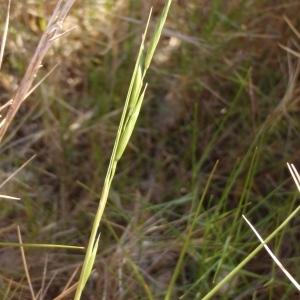 Photographie n°298016 du taxon Brachypodium retusum (Pers.) P.Beauv. [1812]