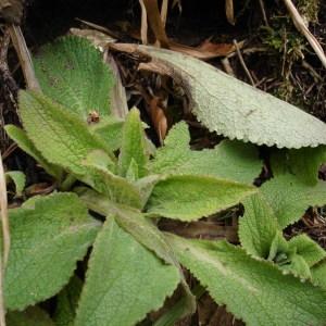 Photographie n°298130 du taxon Digitalis purpurea L.