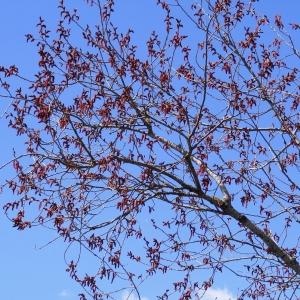 Photographie n°298135 du taxon Populus nigra L.
