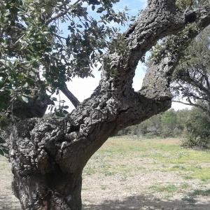 Photographie n°298413 du taxon Quercus suber L. [1753]