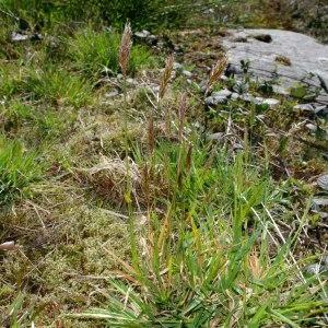 Photographie n°298781 du taxon Anthoxanthum odoratum L.