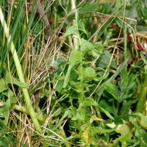 Photographie n°298785 du taxon Taraxacum erythrospermum Andrz. ex Besser