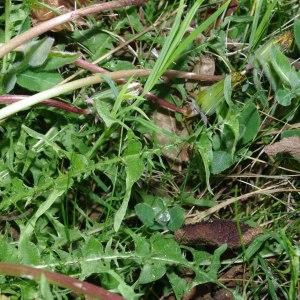 Photographie n°298786 du taxon Taraxacum erythrospermum Andrz. ex Besser