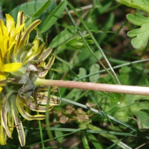Photographie n°298787 du taxon Taraxacum erythrospermum Andrz. ex Besser