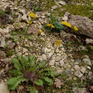 Photographie n°298790 du taxon Crepis sancta (L.) Bornm. [1913]