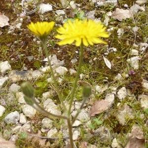 Photographie n°298798 du taxon Crepis sancta (L.) Bornm. [1913]