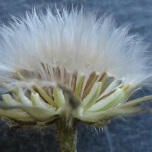 Photographie n°298800 du taxon Crepis sancta (L.) Bornm. [1913]