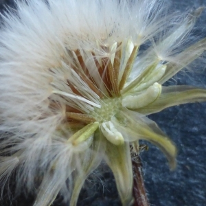 Photographie n°298801 du taxon Crepis sancta (L.) Bornm. [1913]