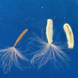 Photographie n°298805 du taxon Crepis sancta (L.) Bornm. [1913]