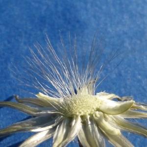 Photographie n°298809 du taxon Crepis sancta (L.) Bornm. [1913]