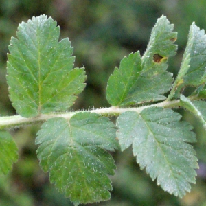 Photographie n°298979 du taxon Erodium moschatum (L.) L'Hér. [1789]