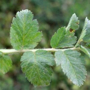 Photographie n°298980 du taxon Erodium moschatum (L.) L'Hér. [1789]