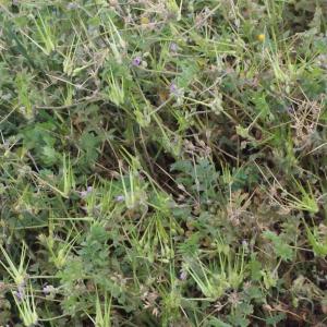 Photographie n°298981 du taxon Erodium moschatum (L.) L'Hér. [1789]