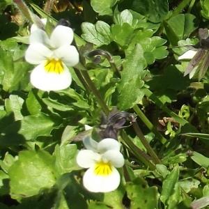 Photographie n°299224 du taxon Viola arvensis Murray [1770]