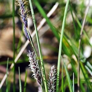 Photographie n°299656 du taxon Carex flacca Schreb. [1771]