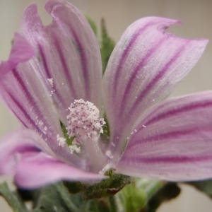 Photographie n°299890 du taxon Lavatera cretica L. [1753]