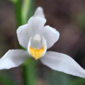 Photographie n°299948 du taxon Cephalanthera longifolia (L.) Fritsch [1888]