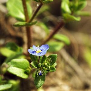 Photographie n°300059 du taxon Veronica acinifolia L. [1762]