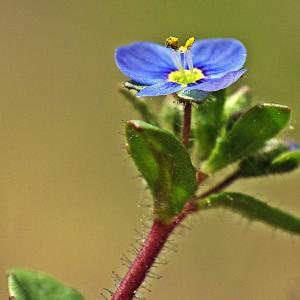 Veronica coniosperma Wallr. [1840] (Véronique à feuilles de calament)
