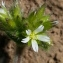 Henri Scordia - Cerastium fontanum subsp. vulgare (Hartm.) Greuter & Burdet [1982]