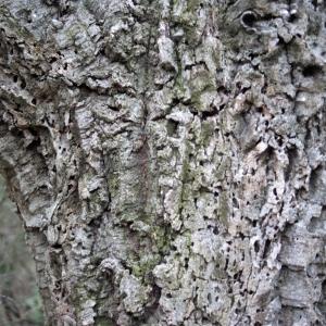 Photographie n°300153 du taxon Quercus suber L. [1753]