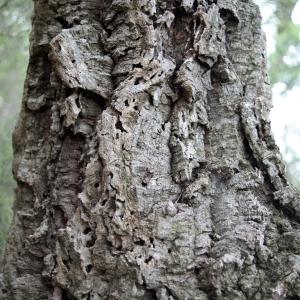 Photographie n°300155 du taxon Quercus suber L. [1753]