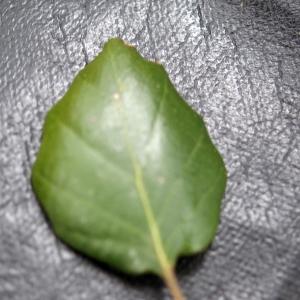 Photographie n°300161 du taxon Quercus suber L. [1753]