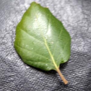 Photographie n°300162 du taxon Quercus suber L. [1753]