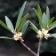 Liliane Roubaudi - Phillyrea angustifolia L. [1753]