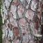 Liliane Roubaudi - Pinus pinaster Aiton [1789]