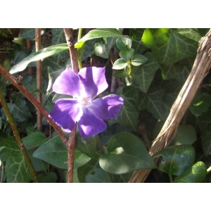 Vinca major L. subsp. major (Grande Pervenche)