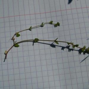 Photographie n°300581 du taxon Veronica L.