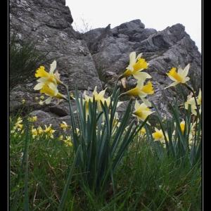 Photographie n°301088 du taxon Narcissus pseudonarcissus L. [1753]