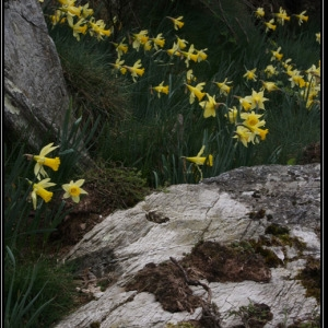 Photographie n°301089 du taxon Narcissus pseudonarcissus L. [1753]