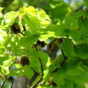 Photographie n°301157 du taxon Fagus sylvatica L.