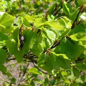Photographie n°301160 du taxon Fagus sylvatica L.