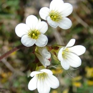 Photographie n°301168 du taxon Saxifraga granulata L.