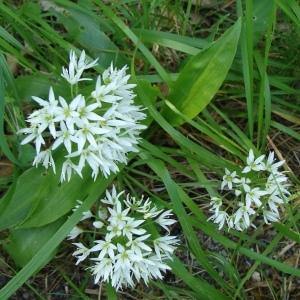 - Allium ursinum L.